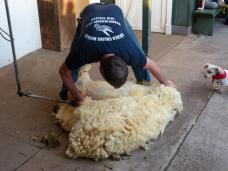 Schaf ohne Wolle